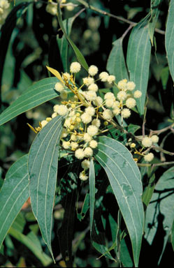 APII jpeg image of Acacia flavescens  © contact APII