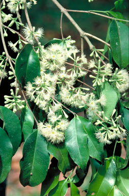 APII jpeg image of Syzygium claviflorum  © contact APII
