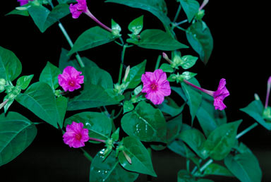 APII jpeg image of Mirabilis jalapa  © contact APII