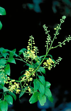 APII jpeg image of Caesalpinia crista  © contact APII