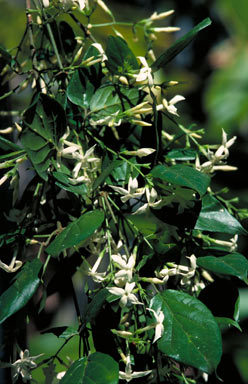 APII jpeg image of Jasminum dallachii  © contact APII