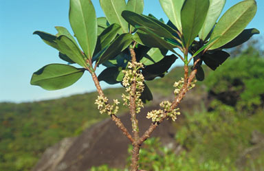 APII jpeg image of Myrsine oreophila  © contact APII