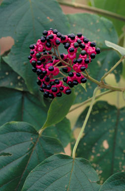 APII jpeg image of Clerodendrum tracyanum  © contact APII
