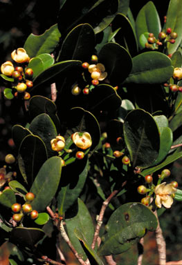 APII jpeg image of Garcinia brassii  © contact APII