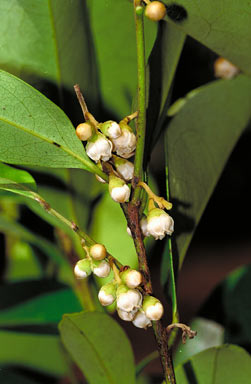 APII jpeg image of Diospyros pentamera  © contact APII