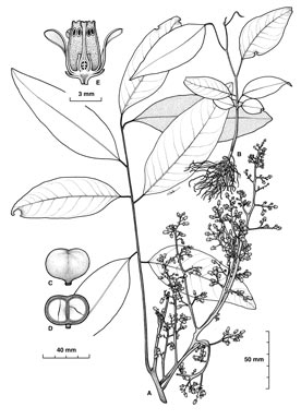 APII jpeg image of Dysoxylum alliaceum  © contact APII