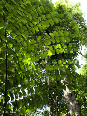 APII jpeg image of Caryota albertii  © contact APII