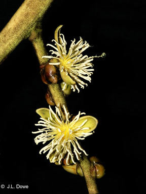 APII jpeg image of Wodyetia bifurcata  © contact APII
