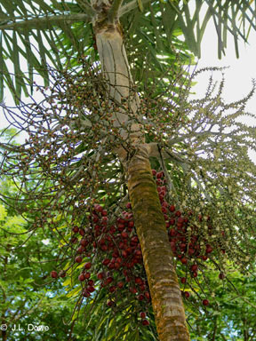 APII jpeg image of Normanbya normanbyi  © contact APII
