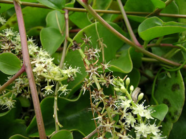 APII jpeg image of Anredera cordifolia  © contact APII
