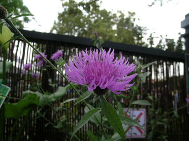 APII jpeg image of Centaurea nigra  © contact APII