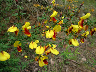 APII jpeg image of Cytisus scoparius  © contact APII