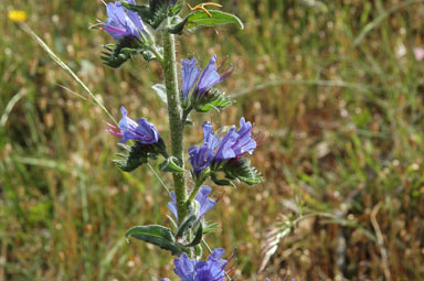 APII jpeg image of Echium vulgare  © contact APII
