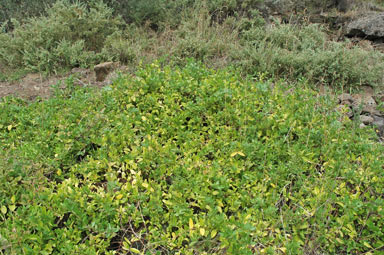 APII jpeg image of Lonicera japonica  © contact APII