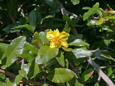 APII jpeg image of Ochna serrulata  © contact APII