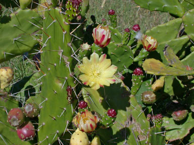 APII jpeg image of Opuntia monacantha  © contact APII
