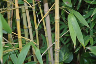 APII jpeg image of Phyllostachys aurea  © contact APII