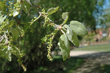 APII jpeg image of Populus alba  © contact APII