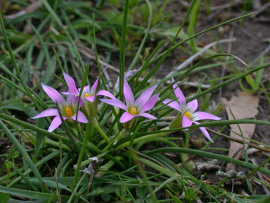 APII jpeg image of Romulea rosea  © contact APII