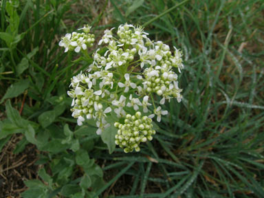 APII jpeg image of Lepidium draba  © contact APII
