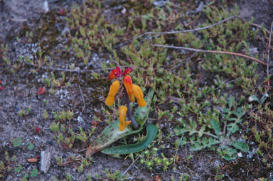 APII jpeg image of Lachenalia aloides  © contact APII