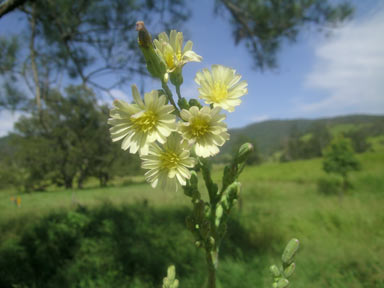 APII jpeg image of Lactuca saligna  © contact APII