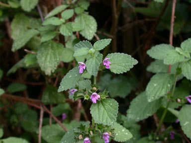 APII jpeg image of Lamium purpureum  © contact APII