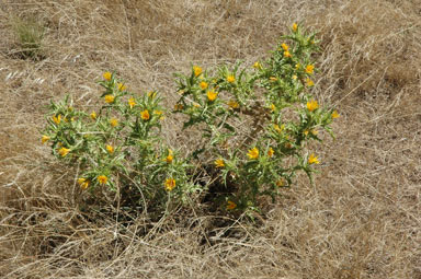 APII jpeg image of Scolymus hispanicus  © contact APII