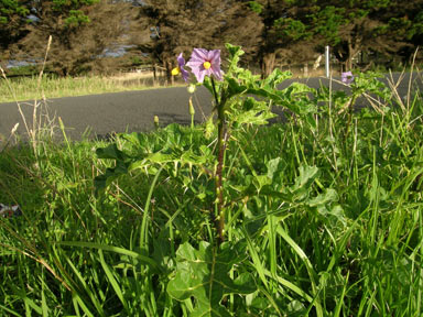 APII jpeg image of Solanum linnaeanum  © contact APII