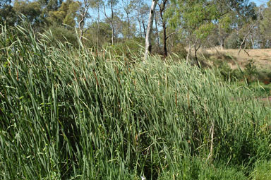 APII jpeg image of Typha orientalis  © contact APII