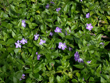 APII jpeg image of Vinca major  © contact APII