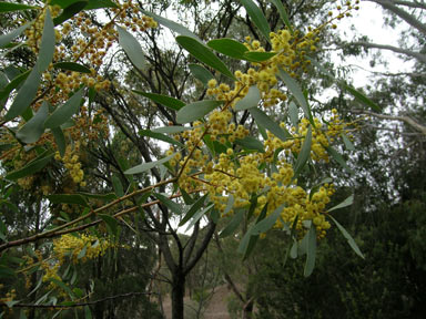 APII jpeg image of Acacia rostellifera  © contact APII
