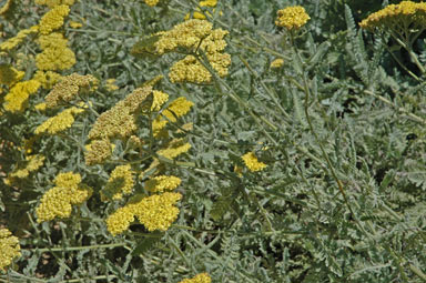 APII jpeg image of Achillea millefolium 'Moonshine'  © contact APII