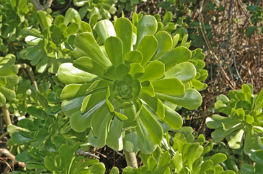 APII jpeg image of Aeonium arboreum  © contact APII