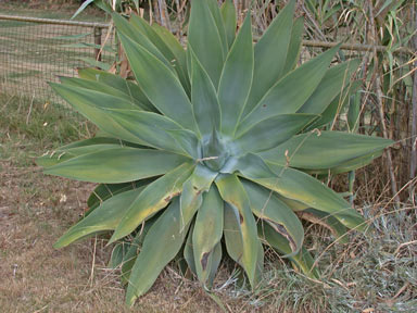 APII jpeg image of Agave attenuata  © contact APII
