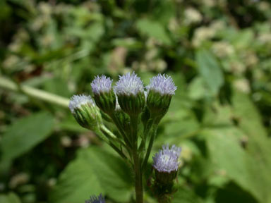 APII jpeg image of Ageratum conyzoides  © contact APII