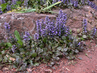 APII jpeg image of Ajuga reptans  © contact APII