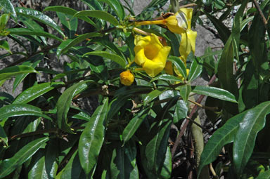 APII jpeg image of Allamanda cathartica  © contact APII