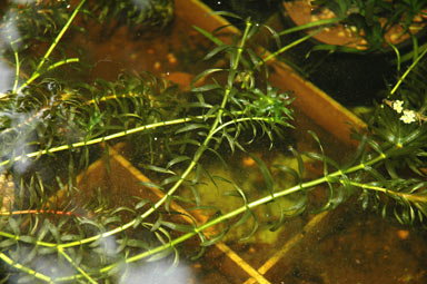 APII jpeg image of Elodea sp.  © contact APII