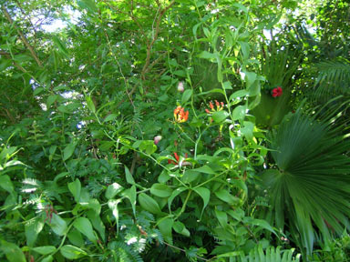 APII jpeg image of Gloriosa superba  © contact APII