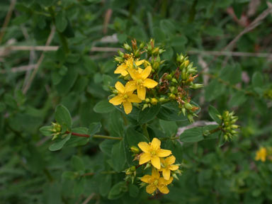 APII jpeg image of Hypericum tetrapterum  © contact APII