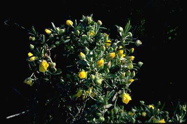 APII jpeg image of Hibbertia potentilliflora  © contact APII