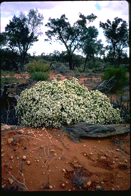 APII jpeg image of Olearia muelleri  © contact APII
