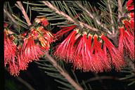 Calothamnus quadrifidus - click for larger image
