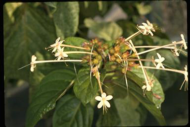 APII jpeg image of Clerodendrum longiflorum var. glabrum  © contact APII