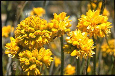 APII jpeg image of Conostylis aculeata  © contact APII