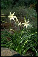 Crinum flaccidum - click for larger image