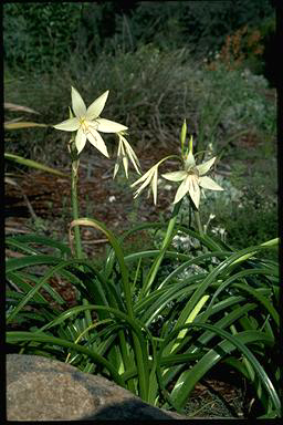 APII jpeg image of Crinum flaccidum  © contact APII