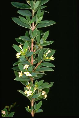 APII jpeg image of Pimelea umbratica  © contact APII