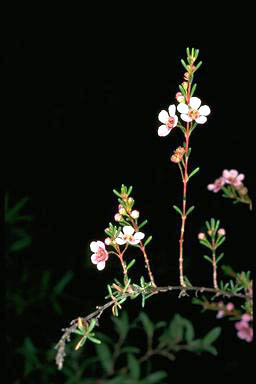 APII jpeg image of Astartea 'Winter Pink'  © contact APII